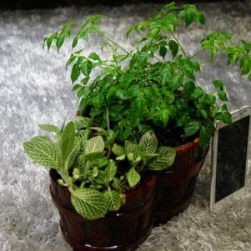 栽种幸福 美美和和 幸福树组合盆栽